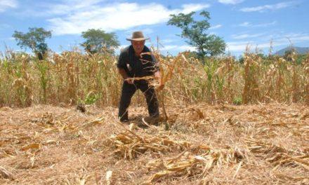 Sequía mata cultivos y de hambre a miles de familias